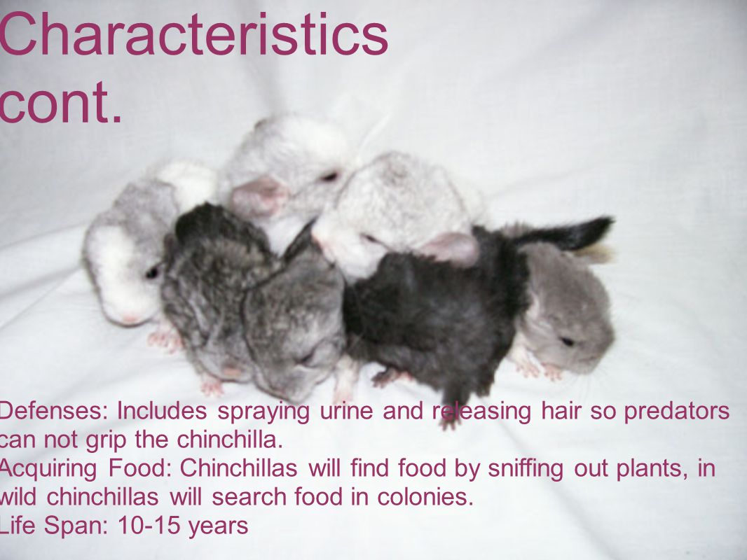 Characteristics cont. Defenses: Includes spraying urine and releasing hair so predators can not grip the chinchilla. Acquiring Food: Chinchillas will