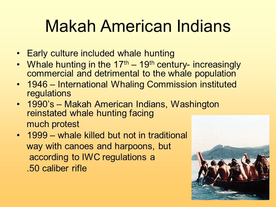 Makah American Indians Early culture included whale hunting Whale hunting in the 17 th – 19 th century- increasingly commercial and detrimental to the whale population 1946 – International Whaling Commission instituted regulations 1990's – Makah American Indians, Washington reinstated whale hunting facing much protest 1999 – whale killed but not in traditional way with canoes and harpoons, but according to IWC regulations a.50 caliber rifle