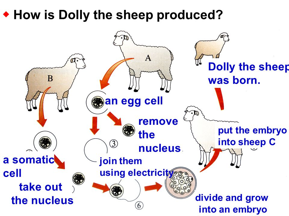 ◆ How is Dolly the sheep produced.