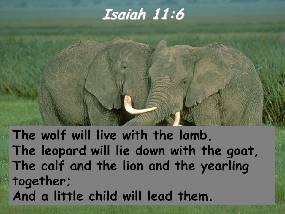 Isaiah 11:6 The wolf will live with the lamb, The leopard will lie down with the goat, The calf and the lion and the yearling together; And a little c