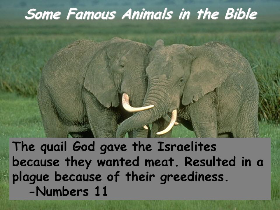Some Famous Animals in the Bible The quail God gave the Israelites because they wanted meat. Resulted in a plague because of their greediness. -Number