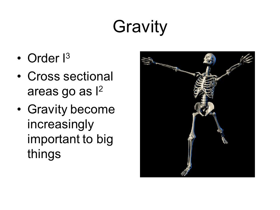 Gravity Order l 3 Cross sectional areas go as l 2 Gravity become increasingly important to big things