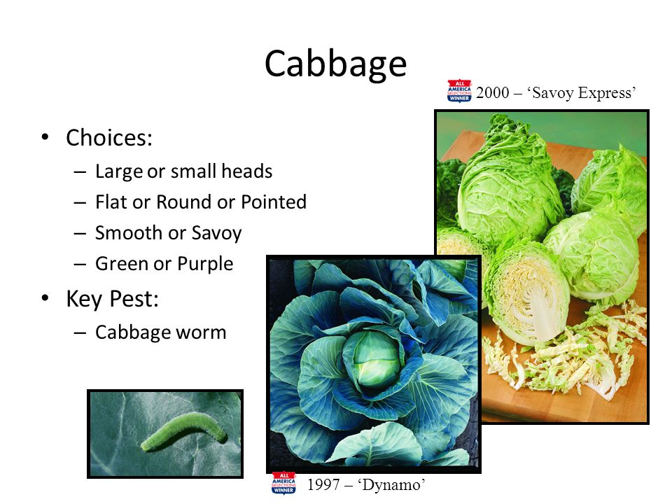 Cabbage Choices: – Large or small heads – Flat or Round or Pointed – Smooth or Savoy – Green or Purple Key Pest: – Cabbage worm 1997 – 'Dynamo' 2000 – 'Savoy Express'