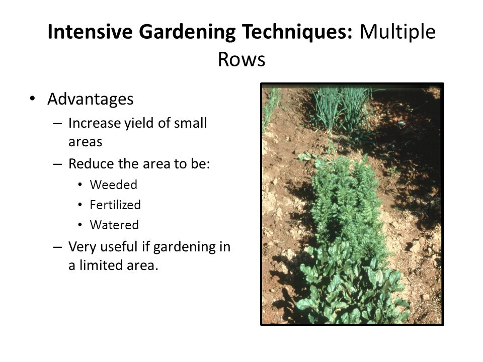 Intensive Gardening Techniques: Multiple Rows Advantages – Increase yield of small areas – Reduce the area to be: Weeded Fertilized Watered – Very useful if gardening in a limited area.