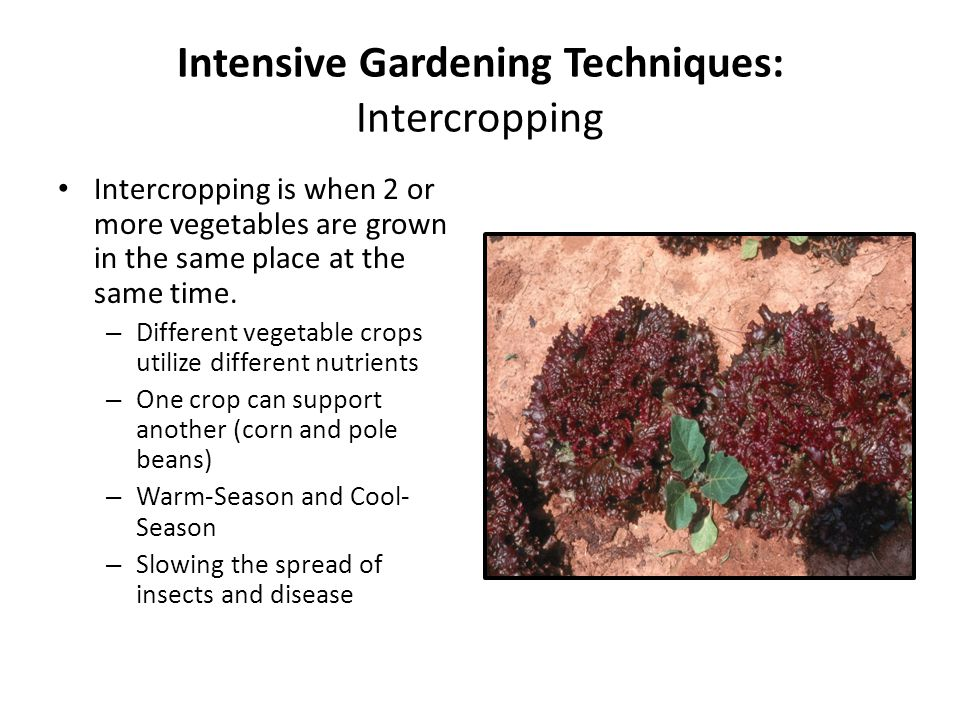 Intensive Gardening Techniques: Intercropping Intercropping is when 2 or more vegetables are grown in the same place at the same time.