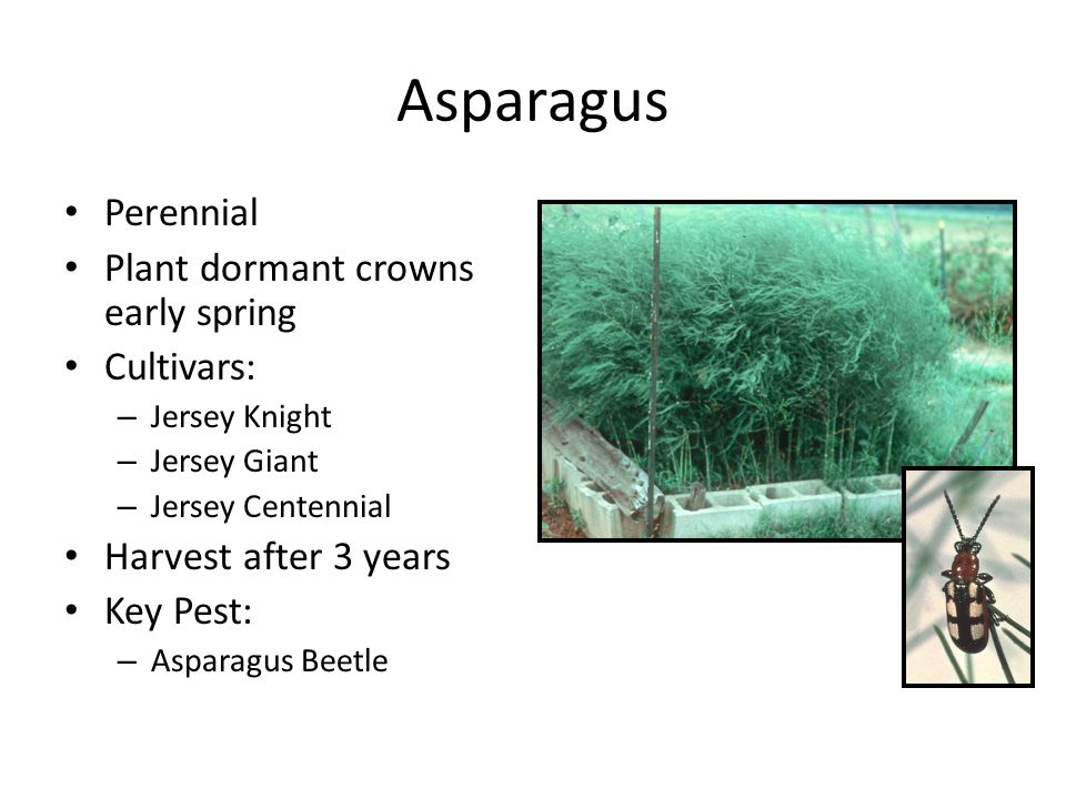 Asparagus Perennial Plant dormant crowns early spring Cultivars: – Jersey Knight – Jersey Giant – Jersey Centennial Harvest after 3 years Key Pest: – Asparagus Beetle