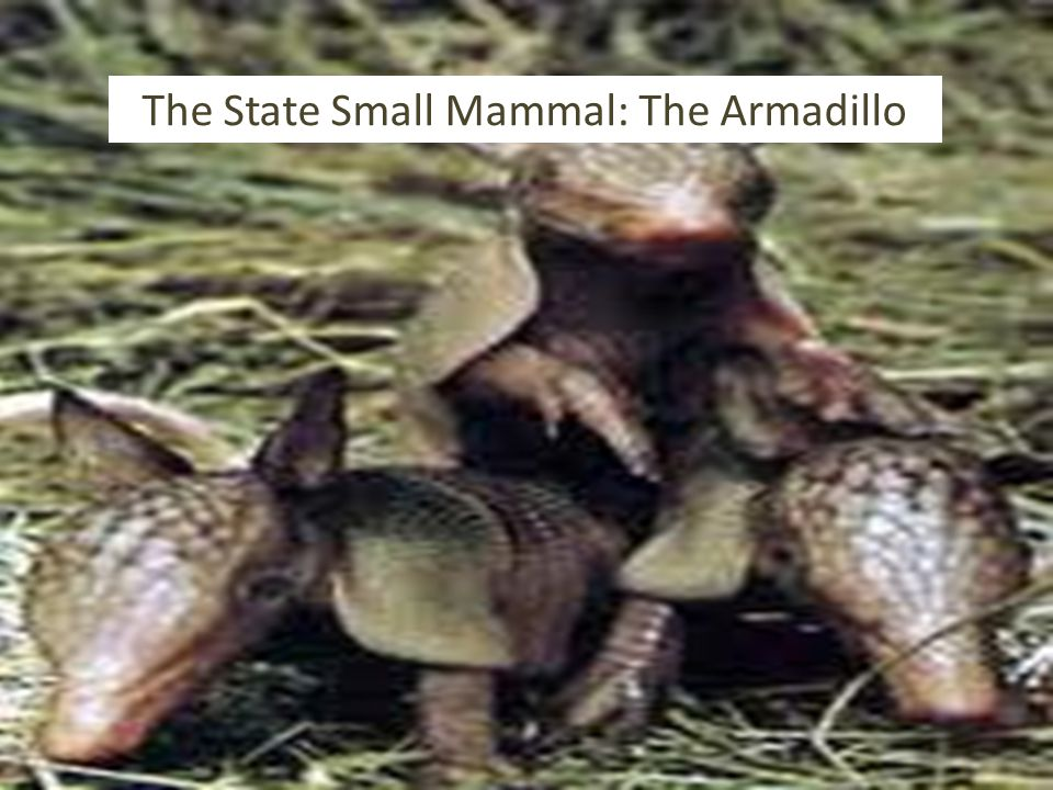 The State Small Mammal: The Armadillo