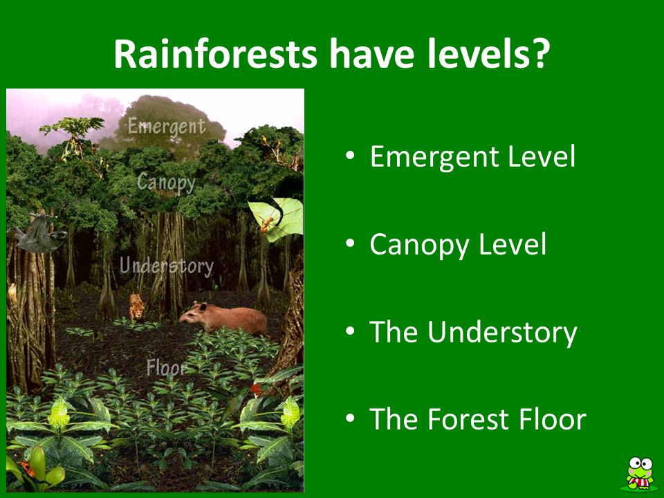 Rainforests have levels? Emergent Level Canopy Level The Understory The Forest Floor