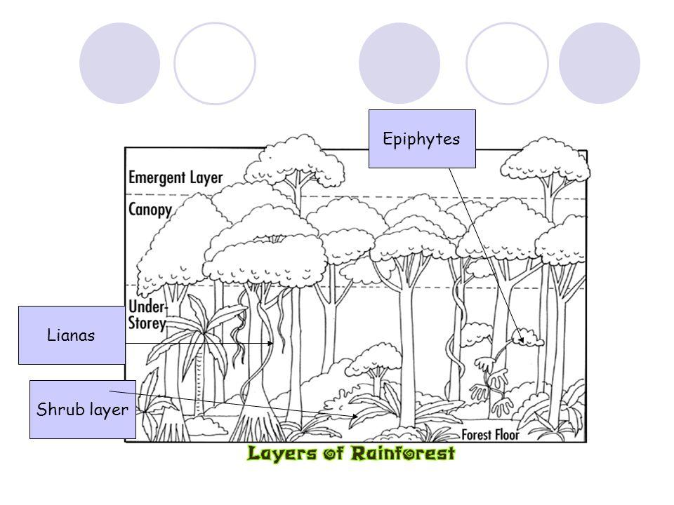 Shrub layer Lianas Epiphytes