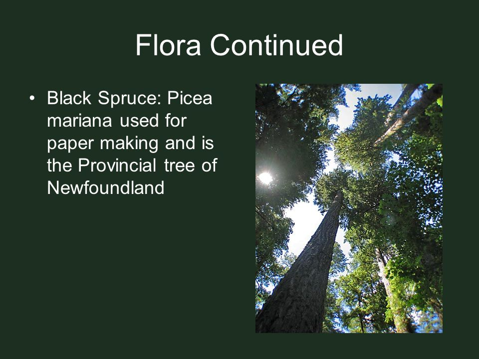 Flora Continued Black Spruce: Picea mariana used for paper making and is the Provincial tree of Newfoundland