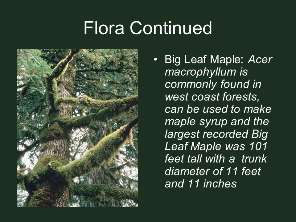 Flora Continued Big Leaf Maple: Acer macrophyllum is commonly found in west coast forests, can be used to make maple syrup and the largest recorded Bi