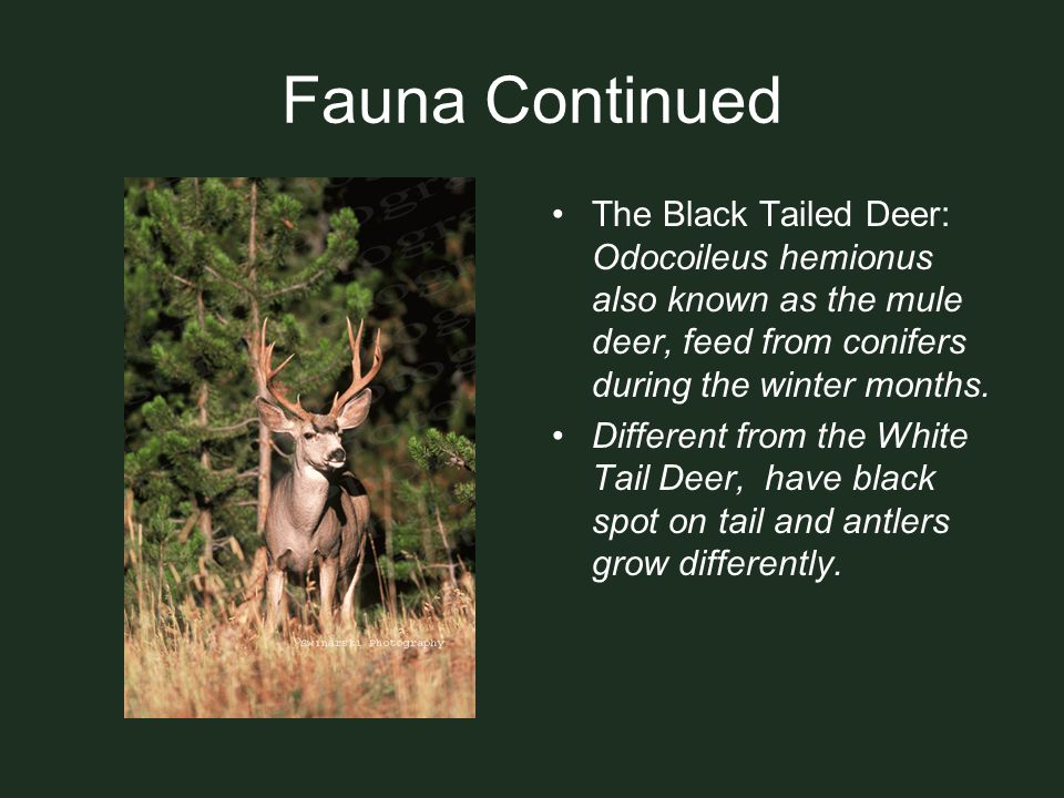 Fauna Continued The Black Tailed Deer: Odocoileus hemionus also known as the mule deer, feed from conifers during the winter months. Different from th