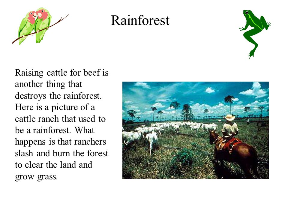 Raising cattle for beef is another thing that destroys the rainforest.