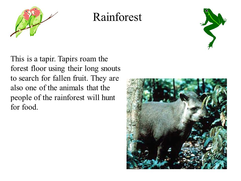 This is a tapir. Tapirs roam the forest floor using their long snouts to search for fallen fruit.