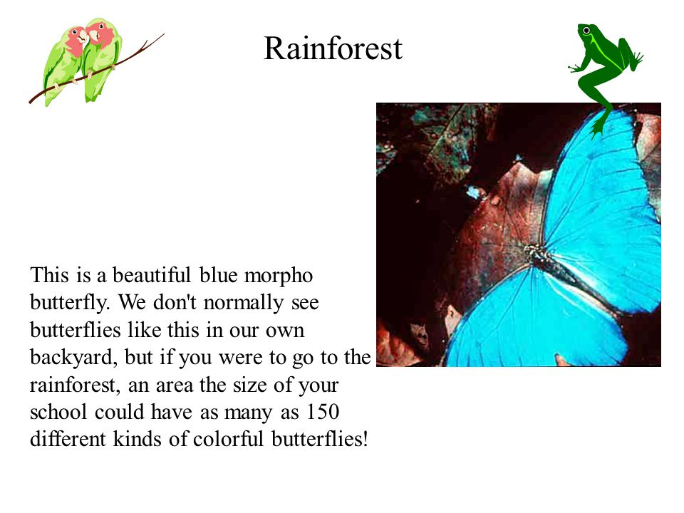 This is a beautiful blue morpho butterfly.