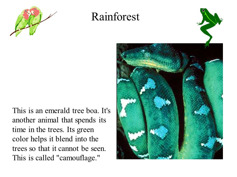 This is an emerald tree boa. It s another animal that spends its time in the trees.