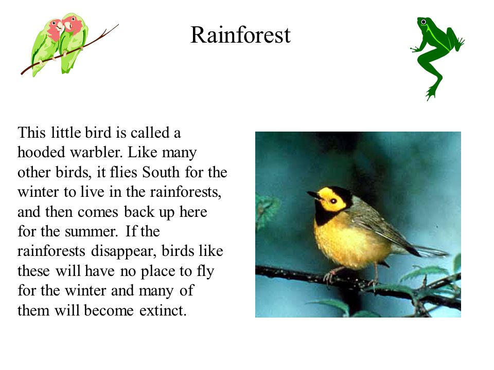 This little bird is called a hooded warbler.