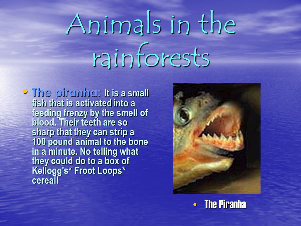 Animals in the rainforests Animals: In the rainforest, there are many different kinds of animals. You can find bats with wingspans up to 5.5 feet, mot