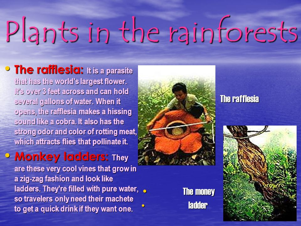 Plants in the rainforests The Bamboo: It's a giant grass found in the rain forest and can grow up to 120 feet high and have stems 12 inches in diamete