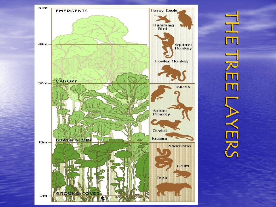 Strata of the Rainforests Different animals and plants live in different parts of the rainforest. Scientists divide the rainforest into strata (zones)