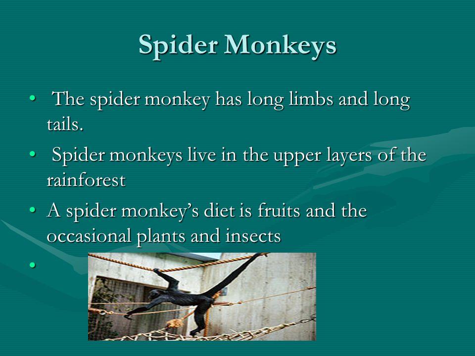 Spider Monkeys The spider monkey has long limbs and long tails. The spider monkey has long limbs and long tails. Spider monkeys live in the upper laye
