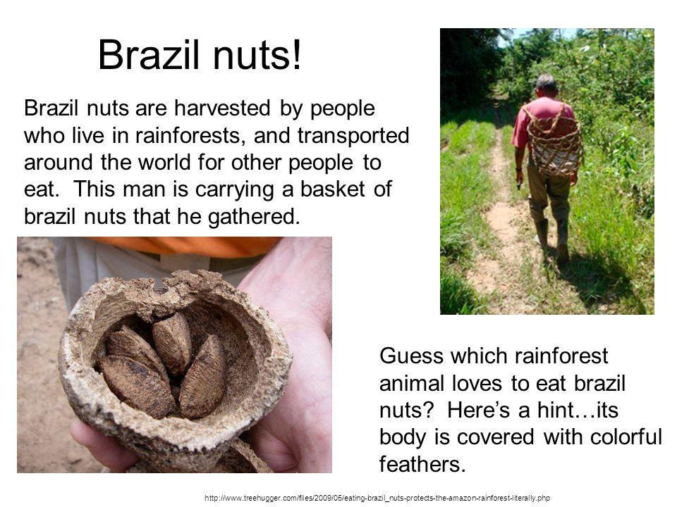 Brazil nuts.