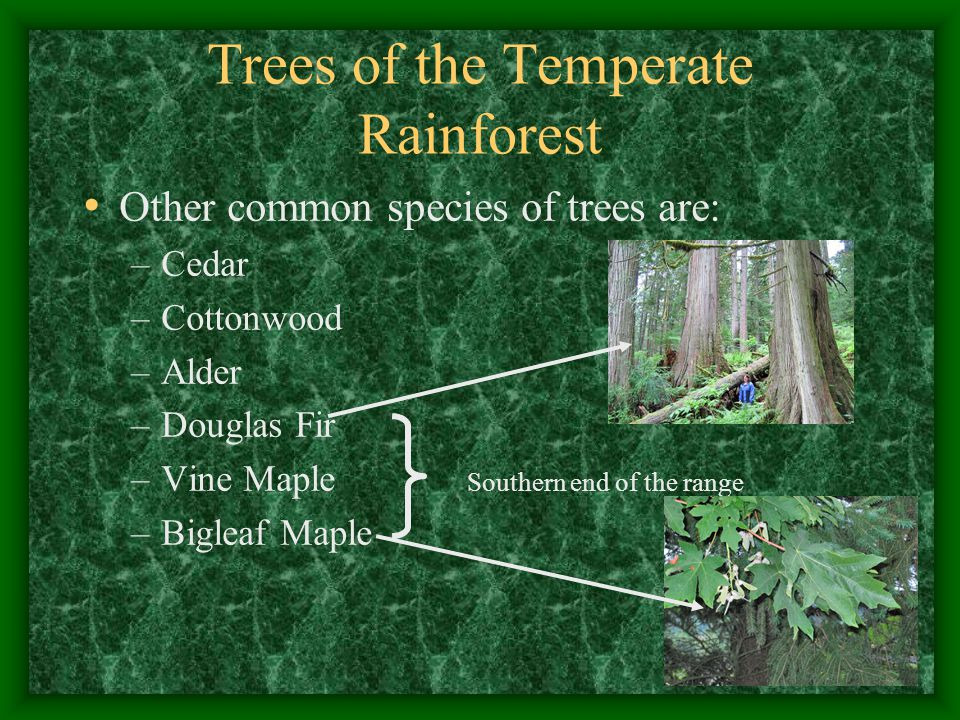 Trees of the Temperate Rainforest Other common species of trees are: –Cedar –Cottonwood –Alder –Douglas Fir –Vine Maple Southern end of the range –Bigleaf Maple