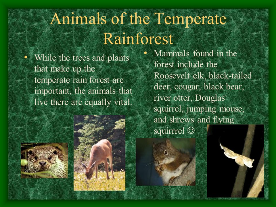 Animals of the Temperate Rainforest While the trees and plants that make up the temperate rain forest are important, the animals that live there are equally vital.