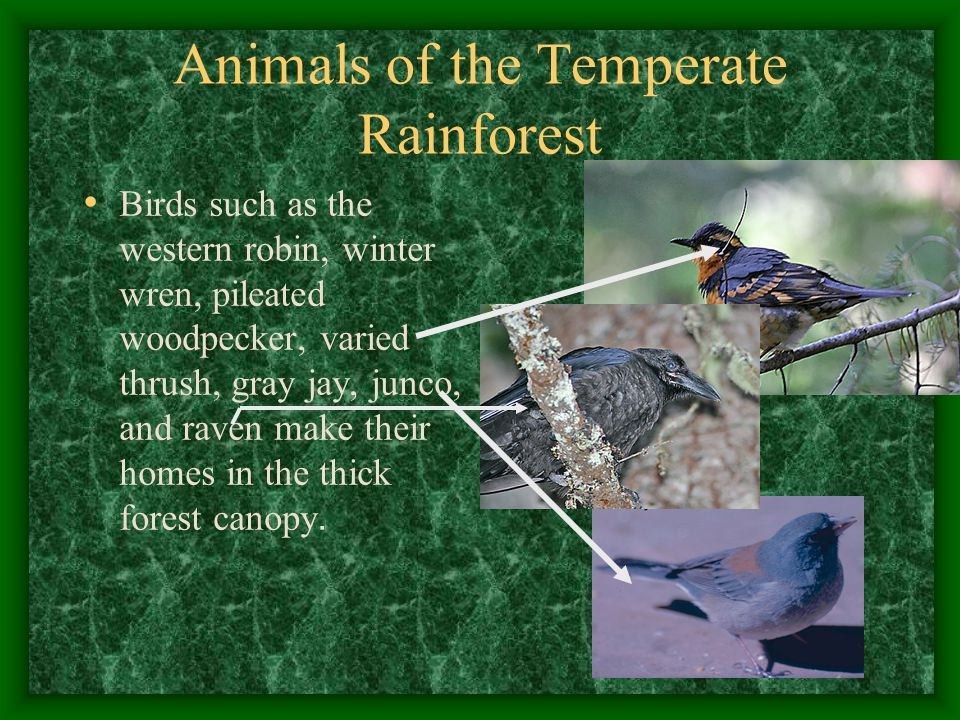 Animals of the Temperate Rainforest Birds such as the western robin, winter wren, pileated woodpecker, varied thrush, gray jay, junco, and raven make their homes in the thick forest canopy.