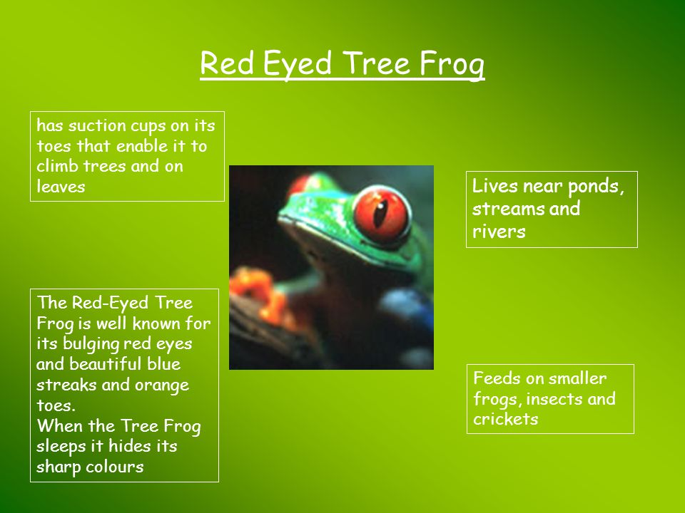 Red Eyed Tree Frog Lives near ponds, streams and rivers Feeds on smaller frogs, insects and crickets The Red-Eyed Tree Frog is well known for its bulg