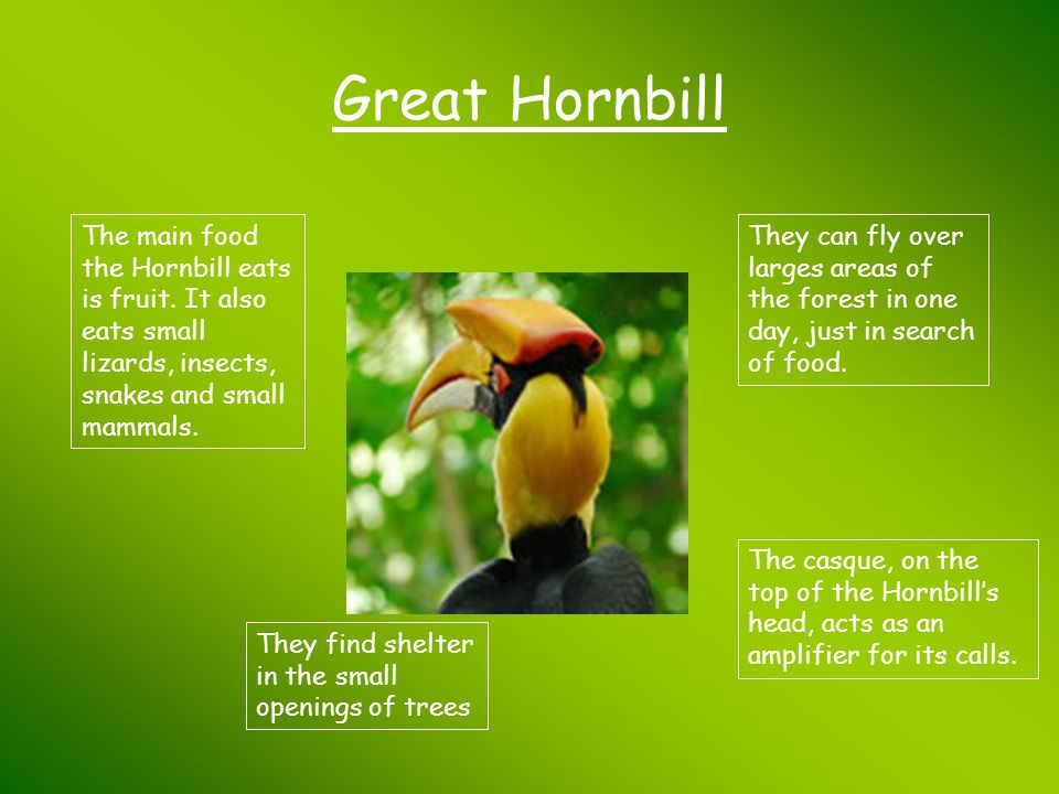 Great Hornbill The main food the Hornbill eats is fruit. It also eats small lizards, insects, snakes and small mammals. They find shelter in the small