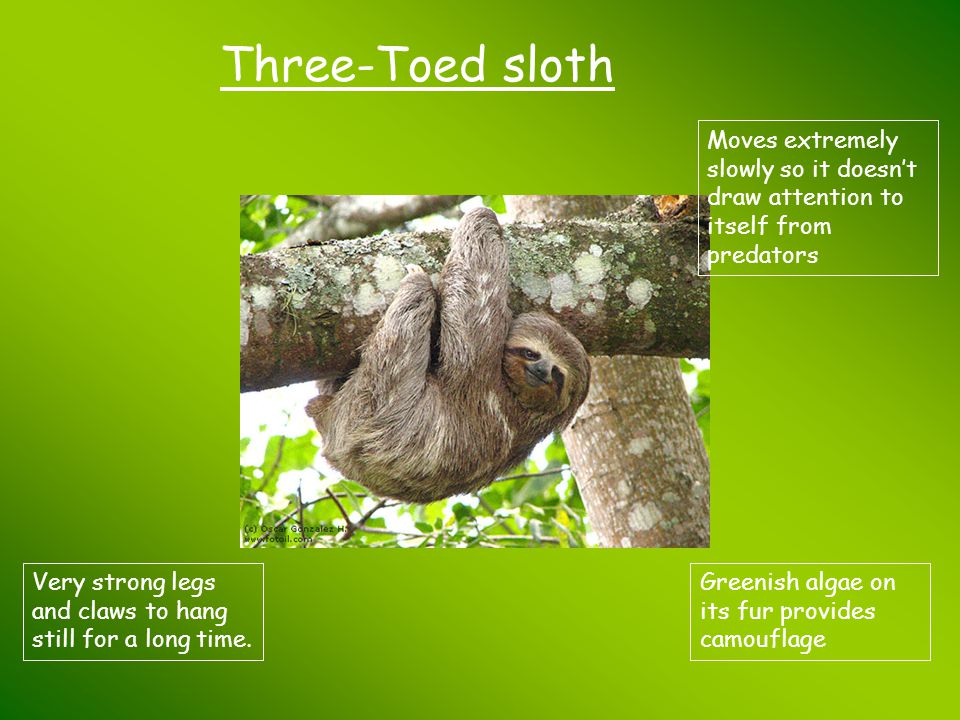 Three-Toed sloth Moves extremely slowly so it doesn't draw attention to itself from predators Greenish algae on its fur provides camouflage Very stron