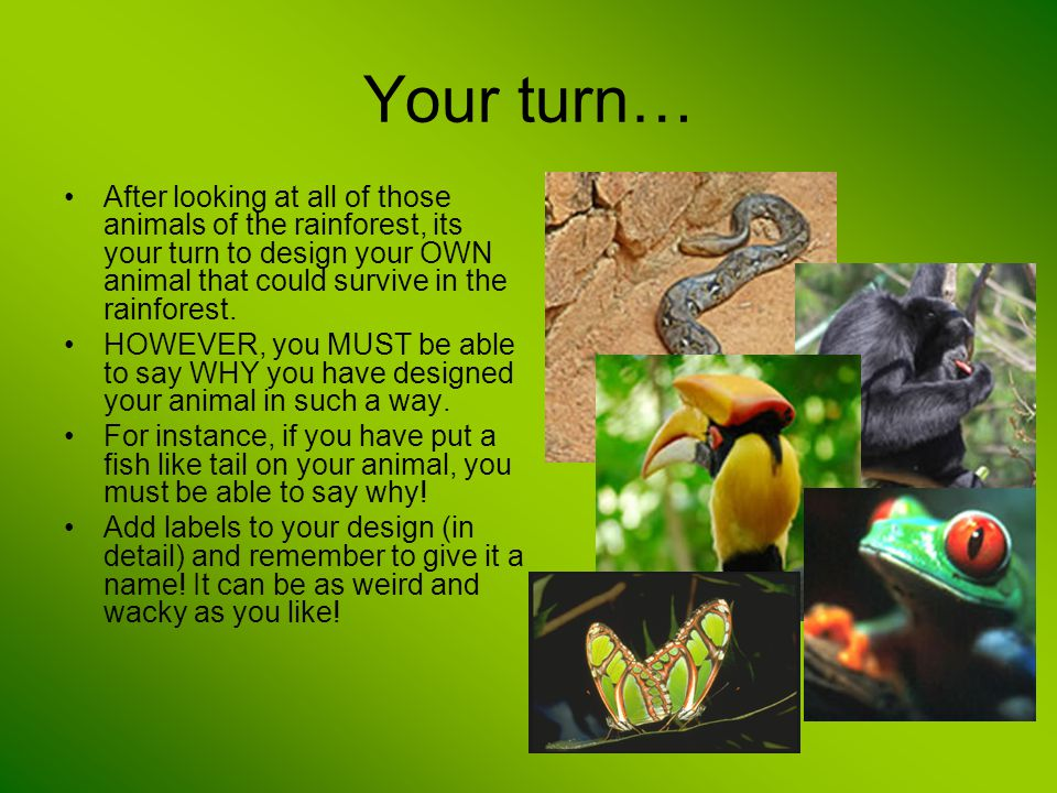 Your turn… After looking at all of those animals of the rainforest, its your turn to design your OWN animal that could survive in the rainforest. HOWE