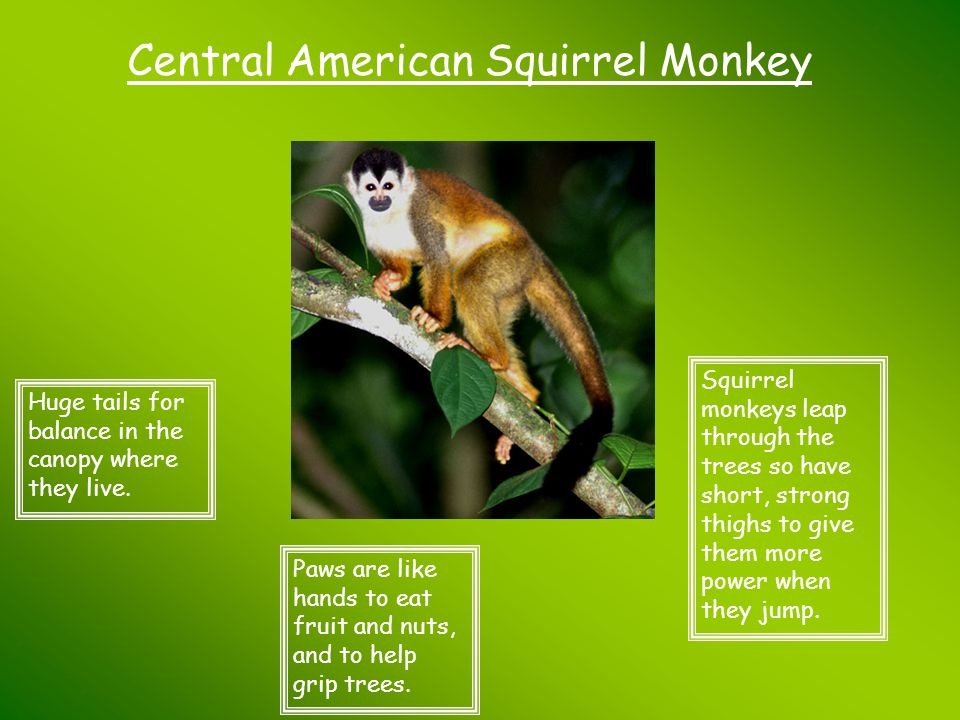 Central American Squirrel Monkey Huge tails for balance in the canopy where they live. Paws are like hands to eat fruit and nuts, and to help grip tre