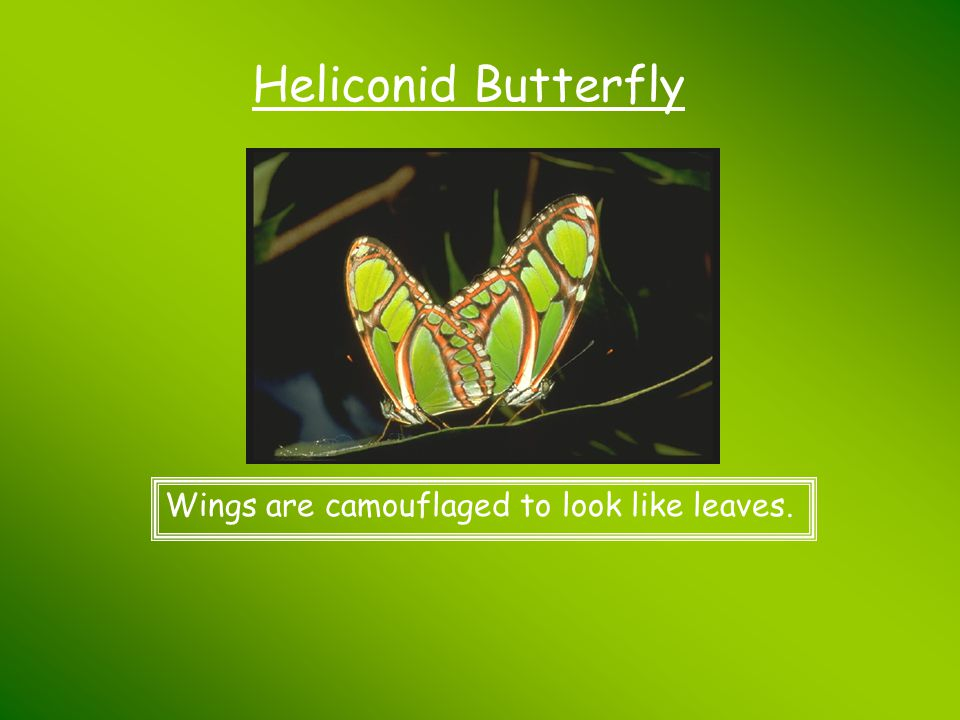 Heliconid Butterfly Wings are camouflaged to look like leaves.