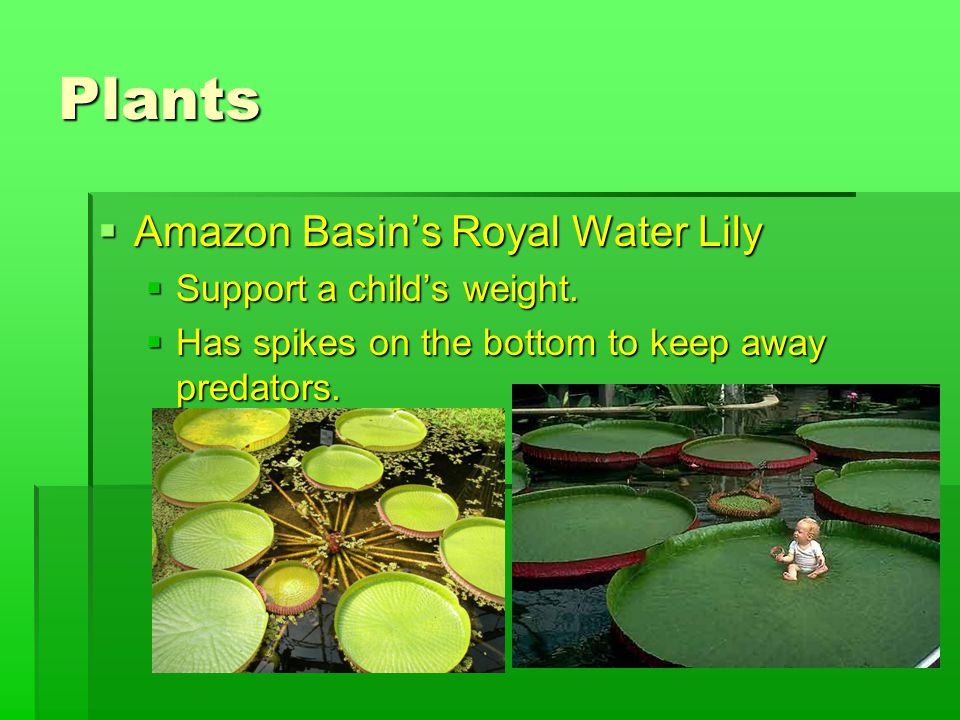Plants  Amazon Basin's Royal Water Lily  Support a child's weight.