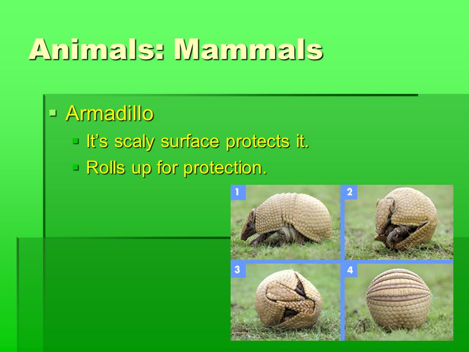 Animals: Mammals  Armadillo  It's scaly surface protects it.  Rolls up for protection.