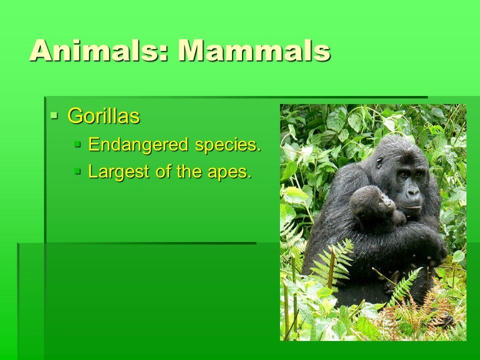 Animals: Mammals  Gorillas  Endangered species.  Largest of the apes.