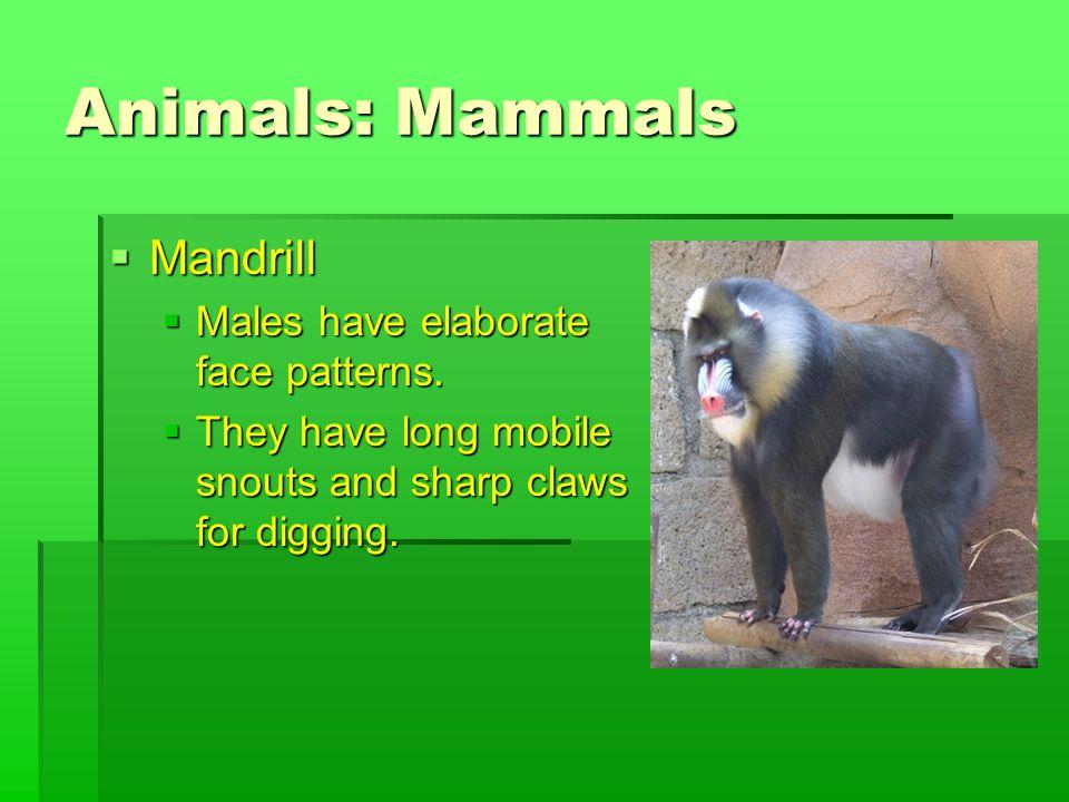 Animals: Mammals  Mandrill  Males have elaborate face patterns.