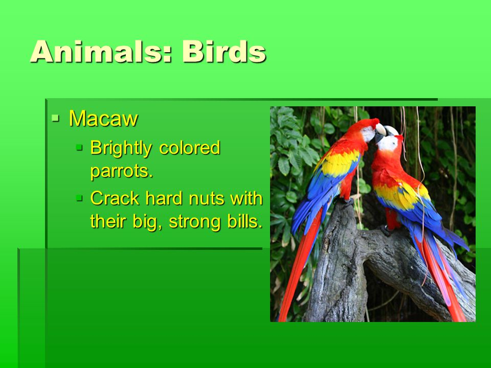 Animals: Birds  Macaw  Brightly colored parrots.  Crack hard nuts with their big, strong bills.