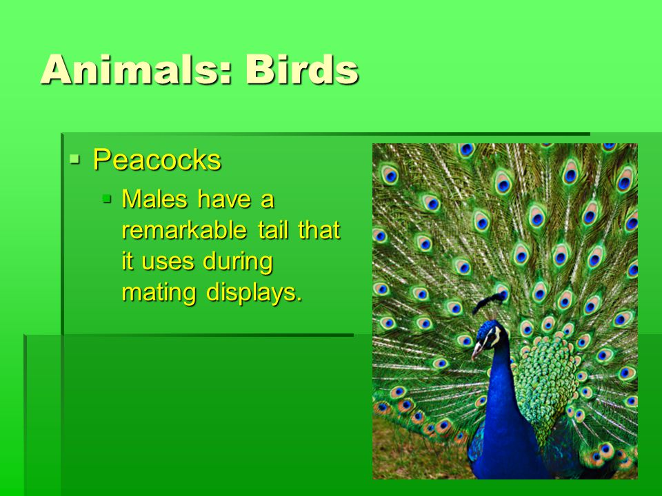 Animals: Birds  Peacocks  Males have a remarkable tail that it uses during mating displays.