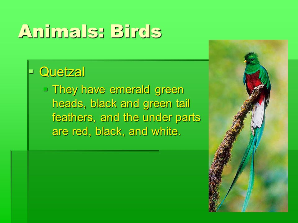 Animals: Birds  Quetzal  They have emerald green heads, black and green tail feathers, and the under parts are red, black, and white.