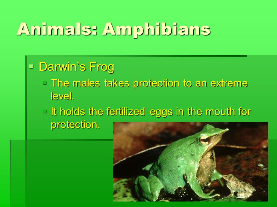 Animals: Amphibians  Darwin's Frog  The males takes protection to an extreme level.