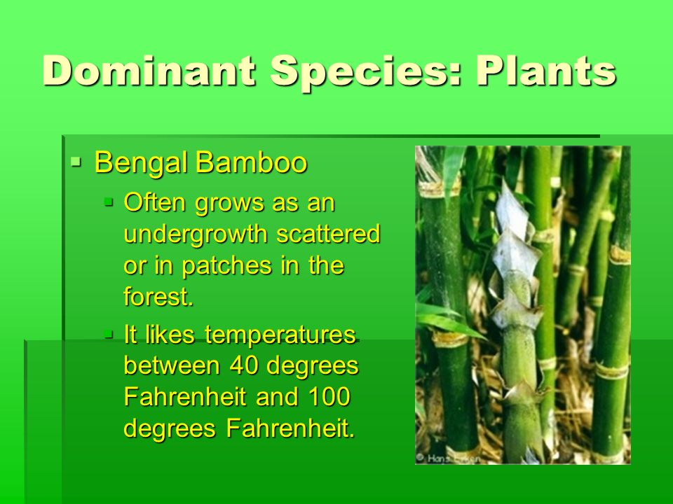 Dominant Species: Plants  Bengal Bamboo  Often grows as an undergrowth scattered or in patches in the forest.