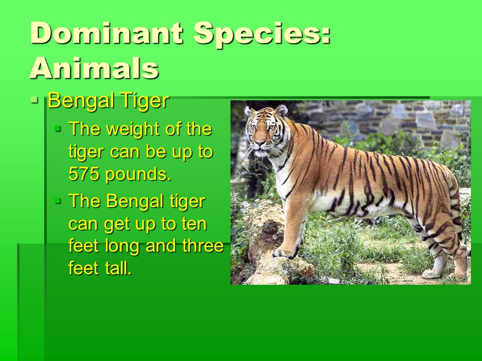 Dominant Species: Animals  Bengal Tiger  The weight of the tiger can be up to 575 pounds.