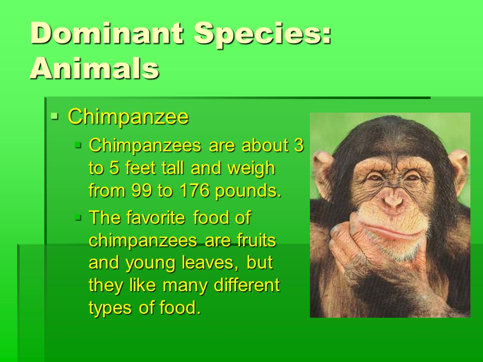 Dominant Species: Animals  Chimpanzee  Chimpanzees are about 3 to 5 feet tall and weigh from 99 to 176 pounds.