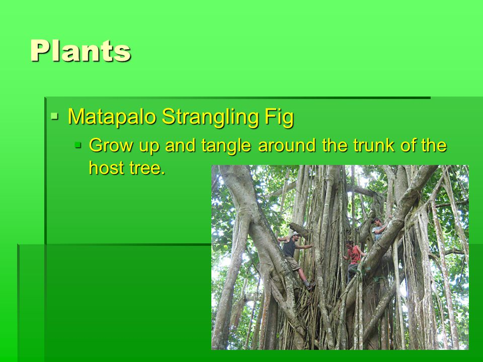 Plants  Matapalo Strangling Fig  Grow up and tangle around the trunk of the host tree.
