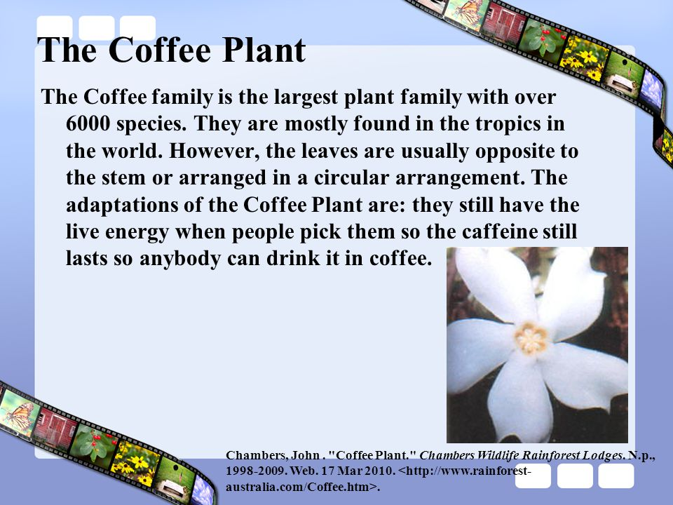The Coffee Plant The Coffee family is the largest plant family with over 6000 species. They are mostly found in the tropics in the world. However, the