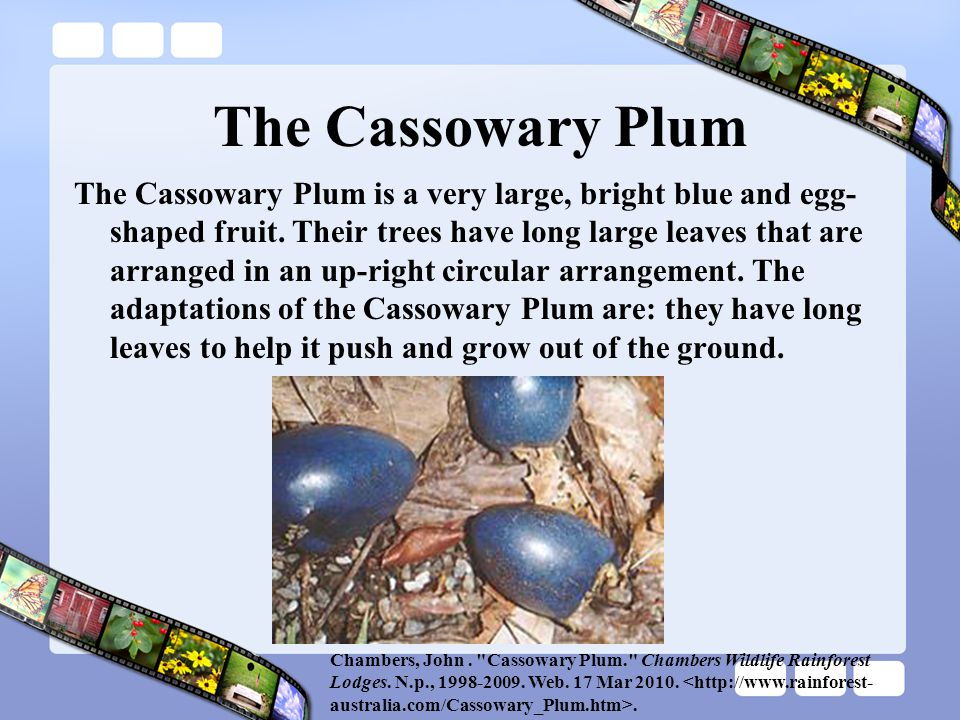 The Cassowary Plum The Cassowary Plum is a very large, bright blue and egg- shaped fruit. Their trees have long large leaves that are arranged in an u