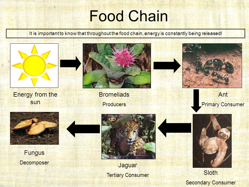 Food Chain Bromeliads Producers Ant Primary Consumer Sloth Secondary Consumer Jaguar Tertiary Consumer Fungus Decomposer It is important to know that throughout the food chain, energy is constantly being released.